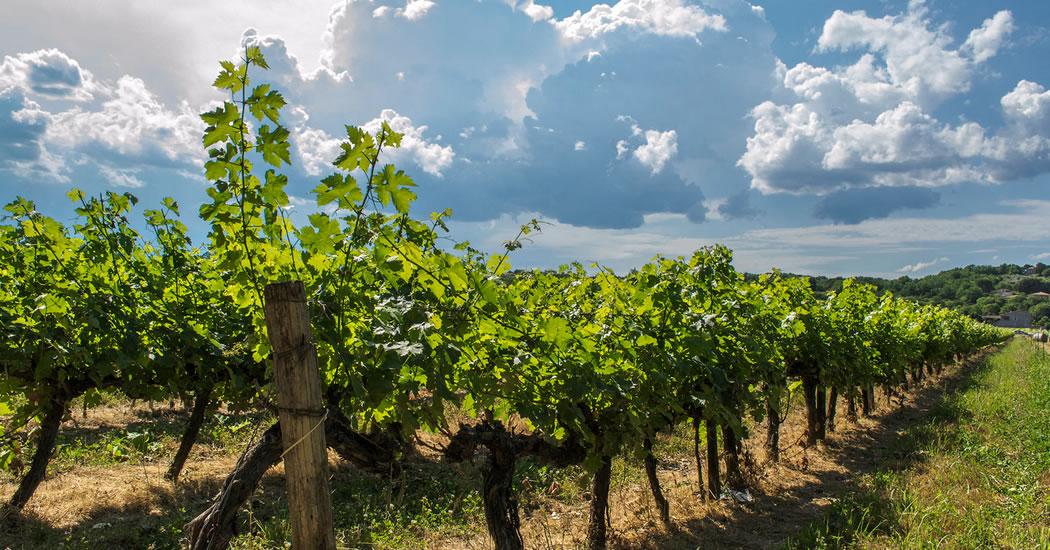 Circuit voiture les vignobles aoc visiter au d part d 39 ajaccio - Acheter pied de vigne ...